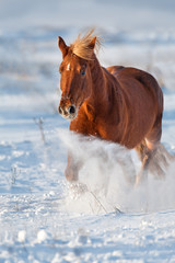 Beautiful red horse with long blond mane run in snow field