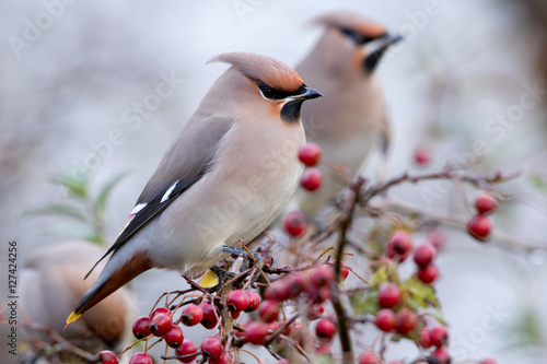 Fotografie, Obraz  Waxwing / Pestvogel