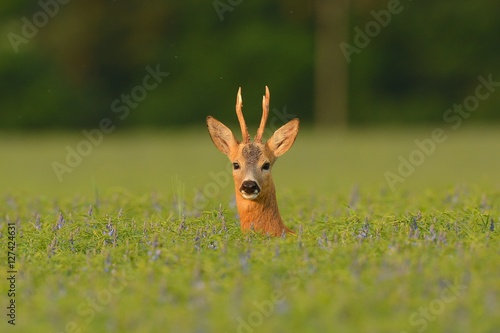 Photo sur Aluminium Roe roe deer