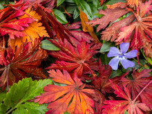 NEWSTEAD, NOTTINGHAM - NOVEMBER 2: Purple Periwinkle Flower Against Autumn Foliage. In Newstead Abbey, Newstead, Nottinghamshire, England. On 2nd November 2016.