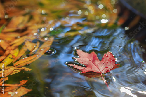 Fotografie, Obraz  Maple leaf on water with other leaves.