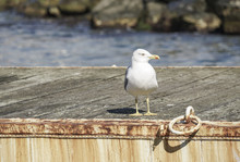 A Seagull Standing On A Pier