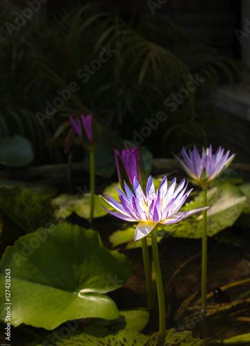 Foto  Lotus
