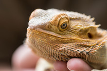 Bearded Dragon In Hand