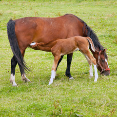 foal drinks from mare in green grassy meadow sq