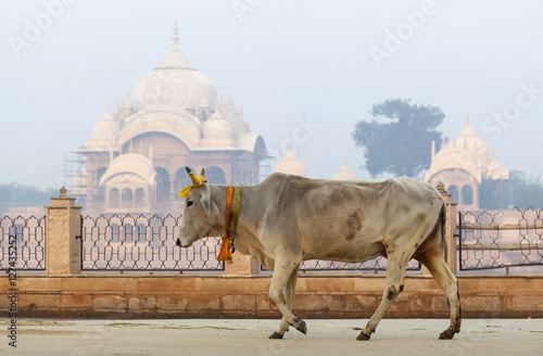 cow is a sacred animal in the background Kusum Sarovar Govardhan Mandir