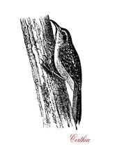 Certhia Or Treecreeper,  Wildlife Vintage Engraving