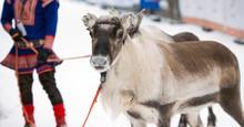 Portrait Of A Reindeer, Tromso