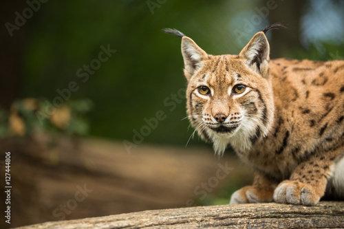 Photo Stands Lynx Eurasian Lynx (Lynx lynx)