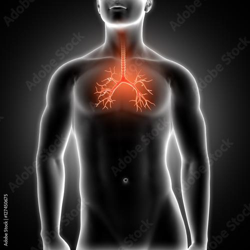 3D medical male figure with bronchus highlighted Tapéta, Fotótapéta