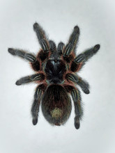 Spider Grammostola Rosea