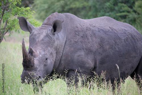 Poster Rhino Black Rhino