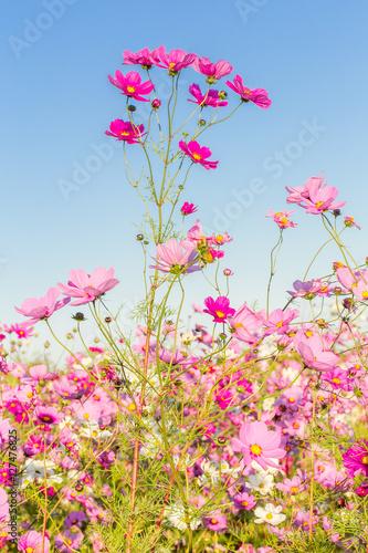 Foto  fleurs des champs, cosmos