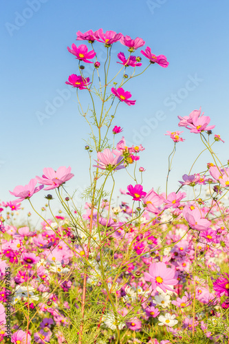 fleurs des champs, cosmos Принти на полотні