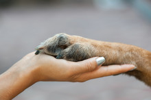 Dog Is Giving Paw To The Woman...