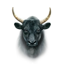 Black Camargue Bull Face Portrait Isolated On White Background