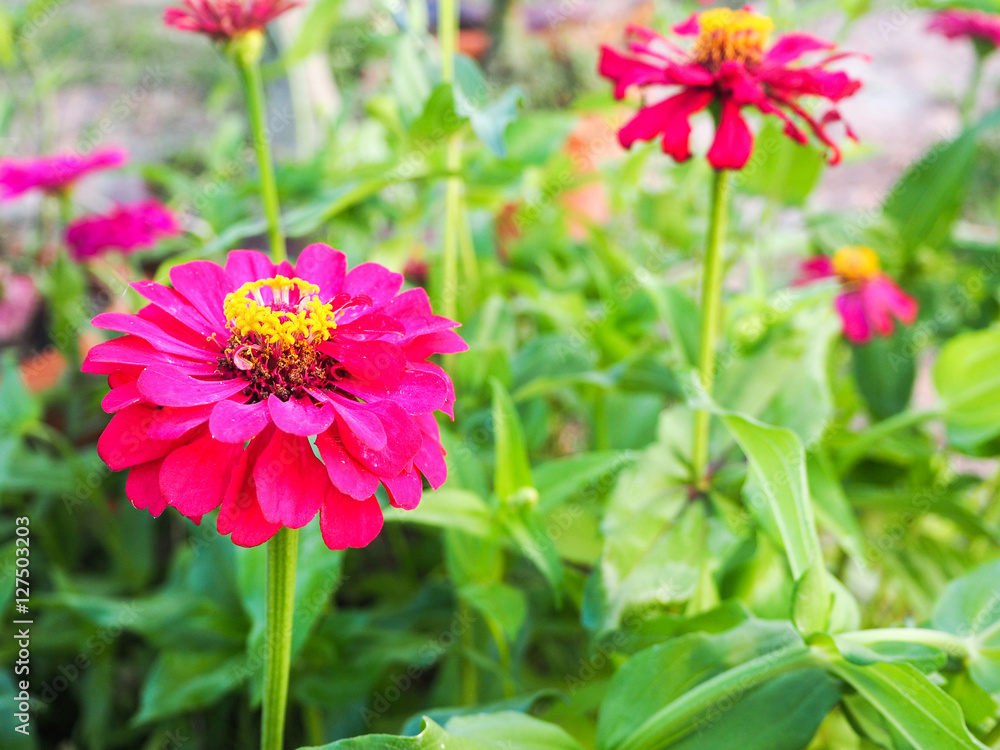 Zinnia pink flower in the garden. Nature background.