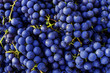 canvas print picture - Red wine grapes background. Dark blue wine grapes.