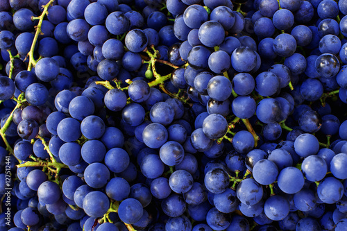 Obraz na plátne Red wine grapes background. Dark blue wine grapes.