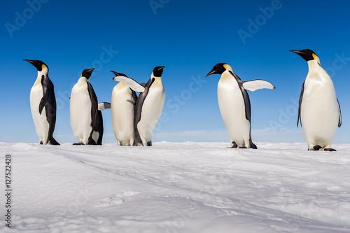 Cuadros en Lienzo A gang of Emperor penguins cheering on ice