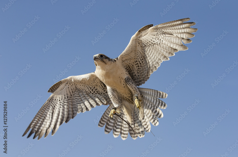 Peregrine Falcon flying in a desert near Dubai
