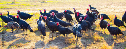 turkeys in nature