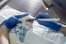 Cat Undergoing A Veterinary De...