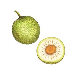 Isolated Botanical Illustration Of Breadfruit