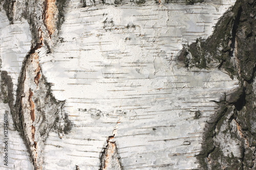 Perfect birch bark texture natural background paper close-up / birch tree  GE13