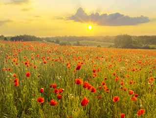 Panel Szklany Eko Red poppies in the light of the setting sun.Spring nature Spring