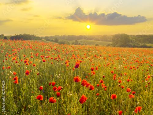 Fototapeta Red poppies in the light of the setting sun.Spring nature Spring obraz na płótnie