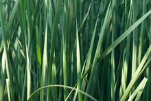 The Cattail , Leaf Backgrounds