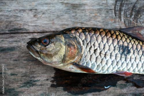Poster Peche Freshwater fish of Thailand, Hampala barb