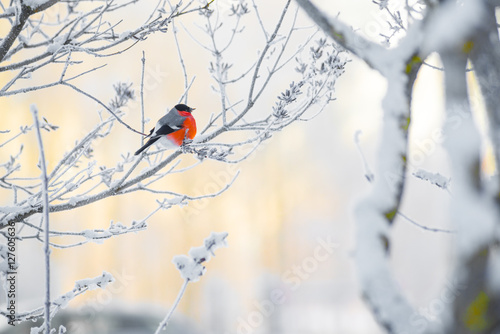 Fotografiet The bullfinch sits on a branch