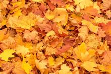 Vibrant Yellow And Orange Autumn Maple Leaves