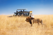 Portrait Of Beautiful Big Lion...
