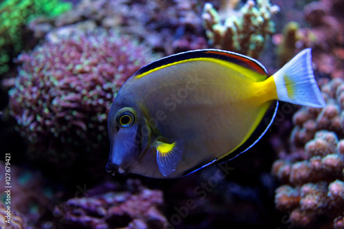 Photo  Powder Brown Tang (Acanthurus japonicus)