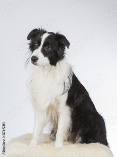 Carta da parati Border collie dog portrait. Image taken in a studio.