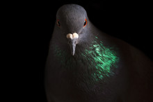 Portrait Rock Pigeon With Colo...