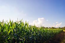 Green Corn Field Under Blue Sky In Summer.