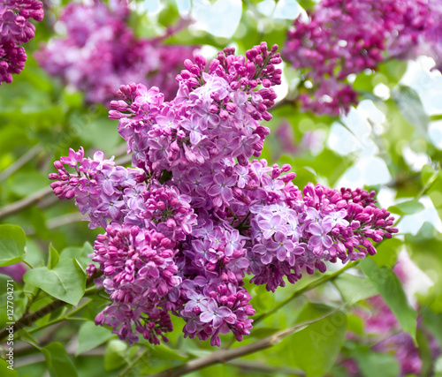 Fotobehang Lilac Branch of a lilac flowers in garden
