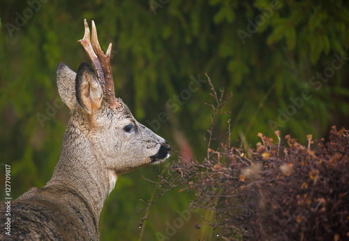 Foto op Aluminium Ree Roe deer (Capreolus capreolus).