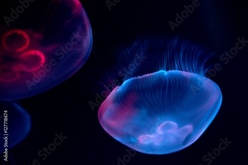 Fotografie, Obraz  jellyfish isolated on black sea close up detail
