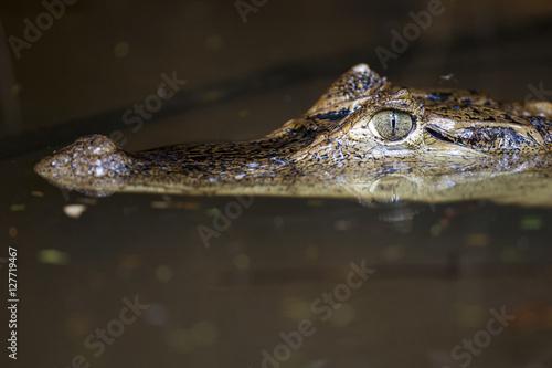 Poster Crocodile Caimán, Costa Rica
