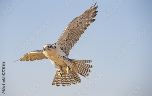 Peregrine Falcon flying  near Dubai