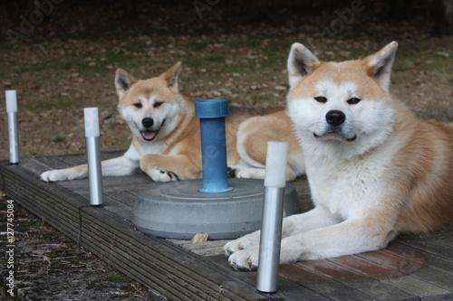 Printed kitchen splashbacks Dog Onze Akita Inu's genaamd Osamu en Genzai