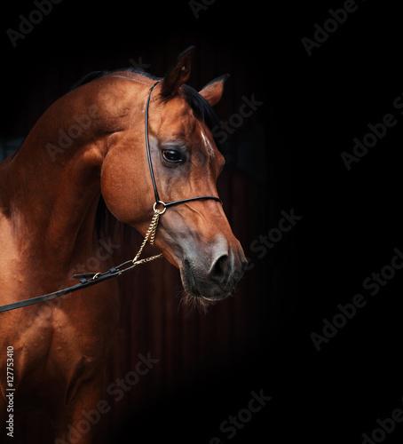 Fototapeta portrait of amazing  bay  arabian horse. obraz