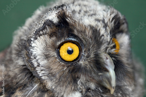Cadres-photo bureau Chouette Little owl with yellow eyes