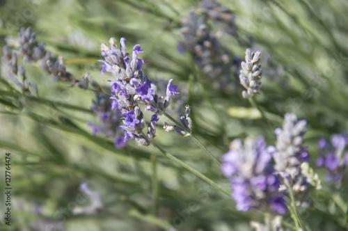 Fotobehang Lavendel lavande en gros plan dans un champ
