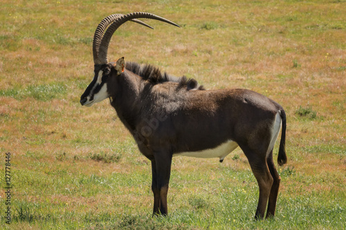 Fotografie, Obraz  Sable antelope bull (Hippotragus niger) - Western Cape Province, South Africa
